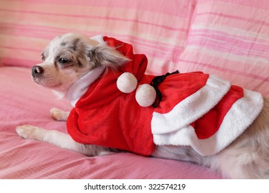 Close up of a chihuahua papillon with dress as a concept of Christmas holidays 4
