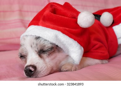 Close up of a chihuahua papillon with dress as a concept of Christmas holidays 5