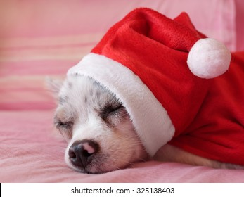 Close up of a chihuahua papillon with dress as a concept of Christmas holidays 6