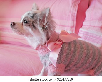 Close up of a chihuahua papillon with a pretty pink dress