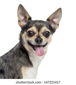 Close up of a Chihuahua sticking the tongue out, isolated on white
