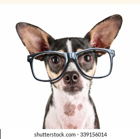 a close up of a chihuahua's face with cool trendy hipster or nerd geek black frame glasses on his face