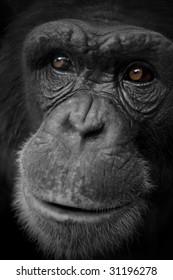 close up of chimpanzee