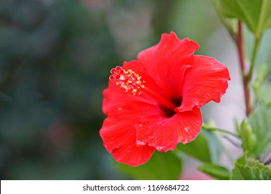 Close up of Chinese hibiscus flower in  red color with blurred nature background