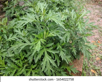 Close up of Chinese mugwort (Artemisia argyi) leaves planted on the ground in a garden