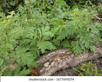 Close up of Chinese mugwort (Artemisia argyi) leaves planted on the ground with a log in the foreground in natural soft sunlight