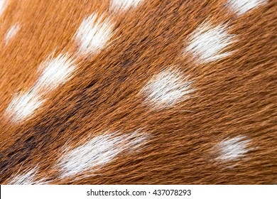 Close up of Chital, spotted deer or axis deer skins for background