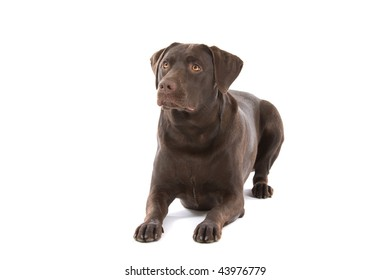 Close up of chocolate labrador dog, isolated on white background
