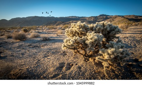 Close up of cholla cactus in the Mohave Desert at Joshua Tree National Park in California
