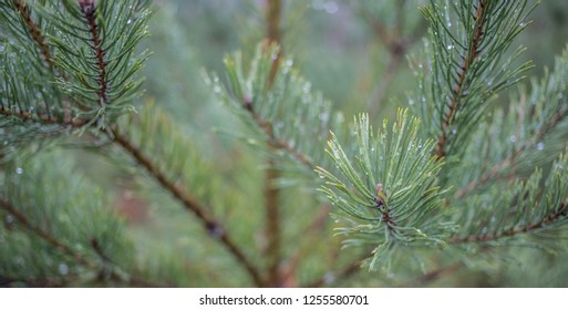 Close up of a christmas tree in the Scandinavian forest