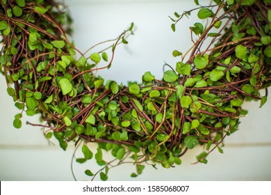 Close up of Christmas wreath made from green Maidenhair (muehlenbeckia) vine against white background.