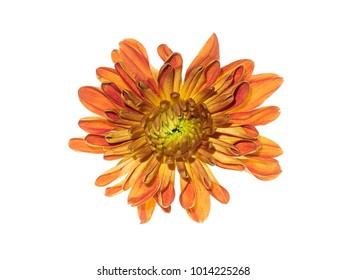 Close up Chrysanthemum flower.