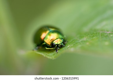 close up of a chrysolina fastuosa on a green leaf