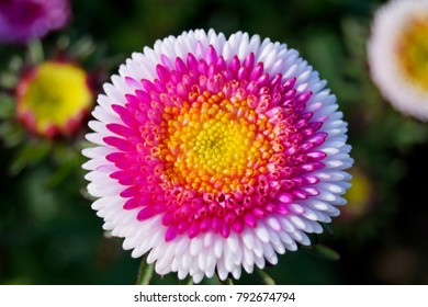 Close up circle Aster blooming in the flower garden. Large alpine aster growing in the flower bed. Background with colorful aster flower. Aster in the summer garden as background card or wallpaper.