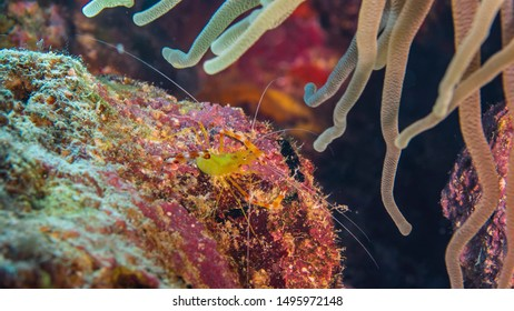 Close up of Cleaner Shrimp in coral reef of the Caribbean Sea around Curacao