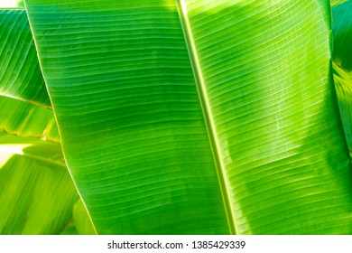 Close up cleary Banana leaf pattern with earmark and flaw at the rim of leaf for any graphic background.