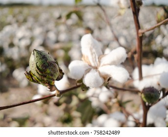 Close up of a closed cotton boll in the field