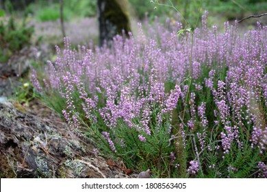 Close up of a clump of blooming pink inflorescences of Calluna vulgaris (known as common heather, ling, or simply heather). Poland, Europe