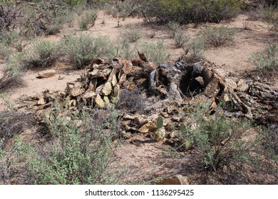 Close up of a clump of dead prickly pear cacti in a desert landscape on the Desert Discovery Nature Trail in Saguaro National Park, Tuscon Mountain District, Arizona, USA