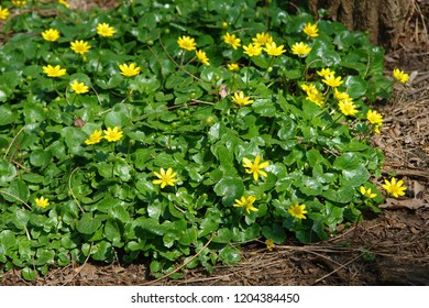 Close up of a clump of Ficaria verna, (formerly Ranunculus ficaria L.) commonly known as lesser celandine or pilewort. Yellow flowers. Poland, Europe