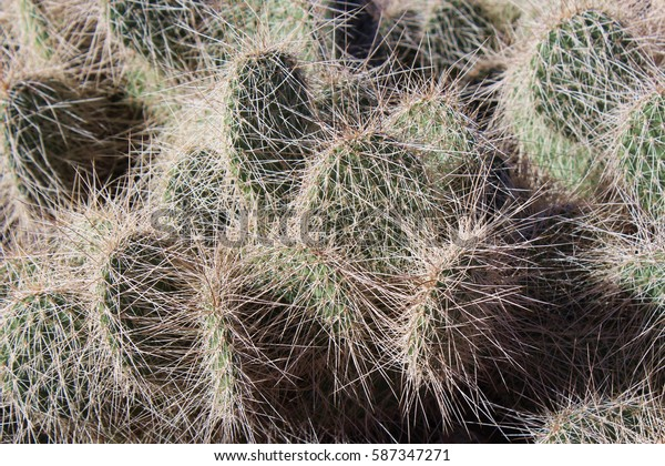 Close up of a clump of Mojave Prickly Pear in the desert of Arizona, USA