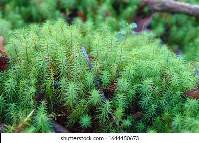 Close up of a clump of Polytrichum commune (also known as common haircap, great golden maidenhair, great goldilocks, common haircap moss, or common hair moss). Poland, Europe