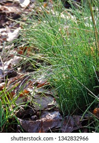 Close up of clumps of wild growing chives, Allium schoenoprasum, an edible species of the genus Allium in spring. Poland, Europe