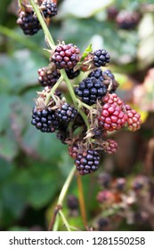 Close up of a cluster of juicy red and dark blue blackberries ripening on the vine in summertime