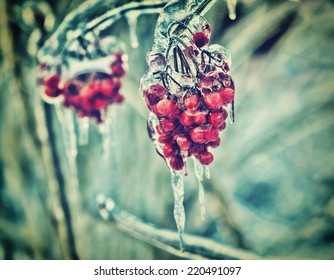 A close up of a cluster of red berries on a tree branch covered in ice during the winter season.  Filtered for a retro, vintage look.