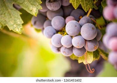 A close up of a cluster of red grapes in Ella Valley, central Israel