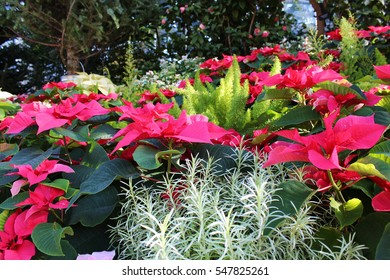 Close up of a cluster of red Poinsettias, Foxtail Asparagus and a Curry plant with flowering shrubs in the background