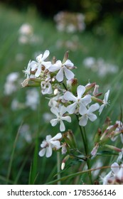 Close up of the cluster of white flowers of Saponaria officinalis, also known as  common soapwort, bouncing-bet, crow soap, wild sweet William, and soapweed. Poland, Europe