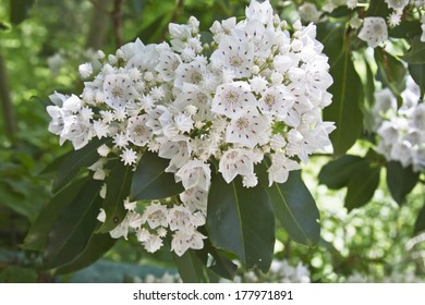 Close up of a cluster of white and red mountain laurel flowers in Spring