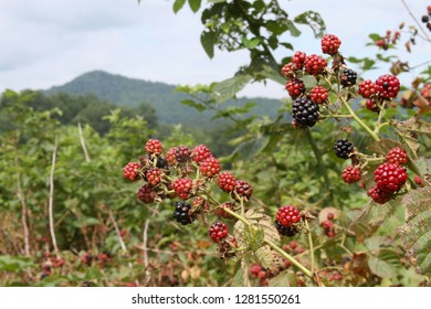 Close up of a cluster of wild blackberries ripening in the mountains in summertime