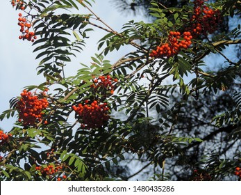 Close up of the clusters of red fruit hanging from the branches of Sorbus aucuparia, commonly called rowan and mountain-ash. Poland, Europe