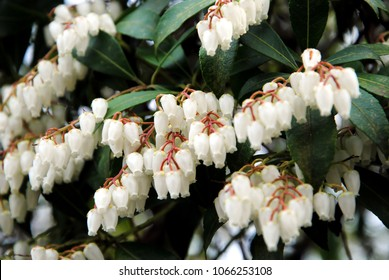 White bell shaped flowers images stock photos vectors shutterstock close up of the clusters of small white bell shaped flowers of andromeda or fetterbush mightylinksfo Choice Image