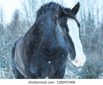 Close up of a Clydesdale on an Alberta Farm