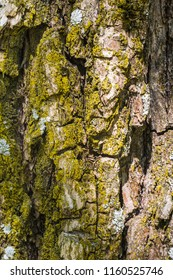 Close up of coarse rough tree bark covered with yellow moss. Abstract natural texture background