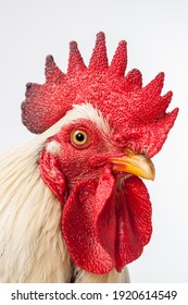 close up of the cock head, the portrait of a chicken.