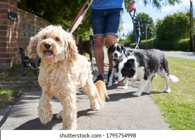 Close up of cockapoo pet dog being walked on suburban street with other dogs by male dog walker