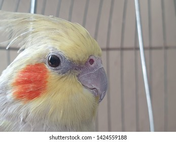 Close up of a cockatiel in its cage.