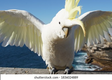 Close Up of a Cockatoo with Wings spread wide