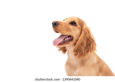 Close up of a Cocker Spaniel puppy dog looking to the side isolated against a white background