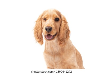 Close up of Cocker Spaniel puppy dog winking isolated against a white background