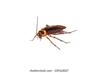 Close up cockroach isolated on white back ground