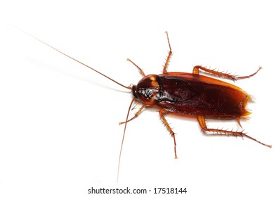 Close up of a cockroach on white background.