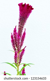 Close up of cockscomb flower (Celosia Cristata) on white background