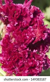Close up of Cockscomb flower, Celosia cristata
