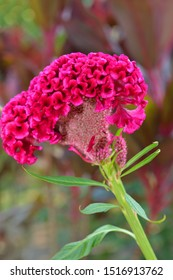 Close up of cockscomb flowers also known as Chinese Wool Flowers or Brain Celosia in the garden. Celosia argentea var. cristata.