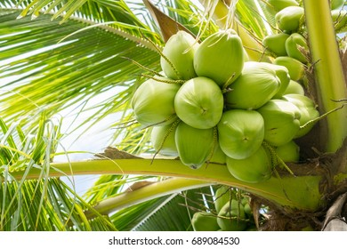 Close up coconut fruit on tree. Food and nature environment concept.